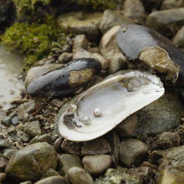 Schalenhälfte mit zwei Flussperlen